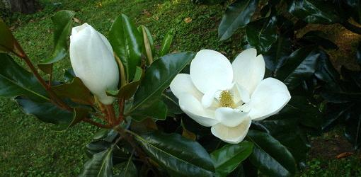 how-grow-magnolia-seed-5.jpg