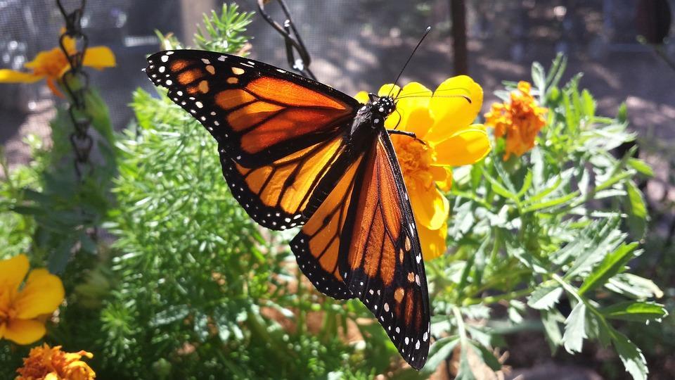 Monarch-Butterfly-Flower-Monarch-Butterfly-Insect-2336179.jpg