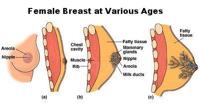 Breast Development - The Transgender Guide